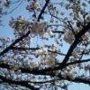 富山も桜が咲いたよ